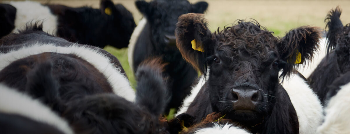Fuzzy headed Dairy Cows